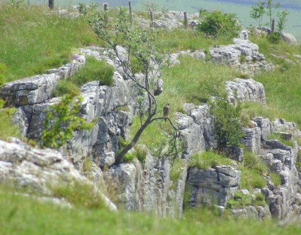 Peregrine falcon on the side of Malham Cove.