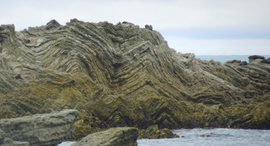 Newly exposed folded rocks, Point Kean, Kaikoura