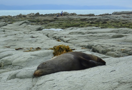 Seals are very relaxed about the people walking around at Point Kean, Kaikoura