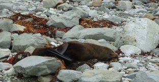 Lounging seal, Point Kean, Kaikoura