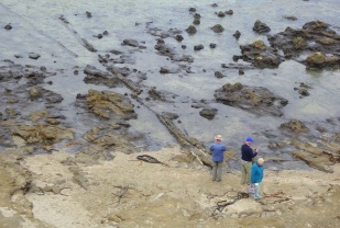 Petrified fallen three at Curio Point becomes apparent as the tide recedes