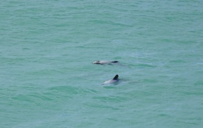 Hector's dolphins, Riverton