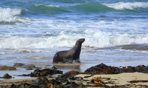 Sea lion emerging from the surf at Waipapa Point