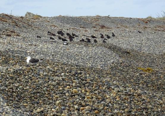 Birds on the Back Beach stones