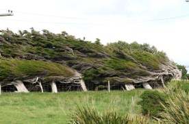 The wind-bent trees of Orepuki, another significant landscape feature. Source: https://kaymckenziecooke.com/2018/05/20/fine-balance/
