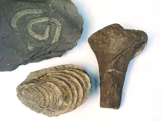 Te Ara fossil types