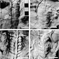 Protovirgularia trace fossils from Japan. Source: Page 3 of https://www.academia.edu/849702/_Deep-sea_bivalvian_highways_An_ethological_interpretation_of_branched_Protovirgularia_of_the_Palaeogene_Muroto-Hanto_Group_southwestern_Japan