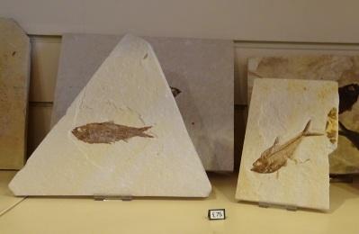 Inside Mr Wood's Fossils Shop, Edinburgh.