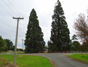 Waikaka Primary School hides behind these two trees