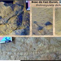 Examples of Protovirgularia dichotoma from Spain. Source: https://www.slideshare.net/JordiMaria/bivalvia-2006-tt-compr