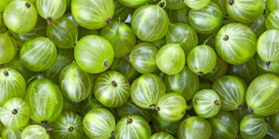 Green gooseberries. Source: https://www.5aday.co.nz/facts-and-tips/fruit-vegetable-info/gooseberries