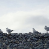 Seagulls at Gemstone Beach